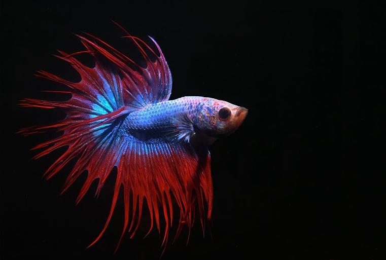 File betta splendens male for Crowntail betta fish
