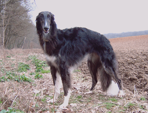 File:Borzoi black female.png - Wikimedia Commons