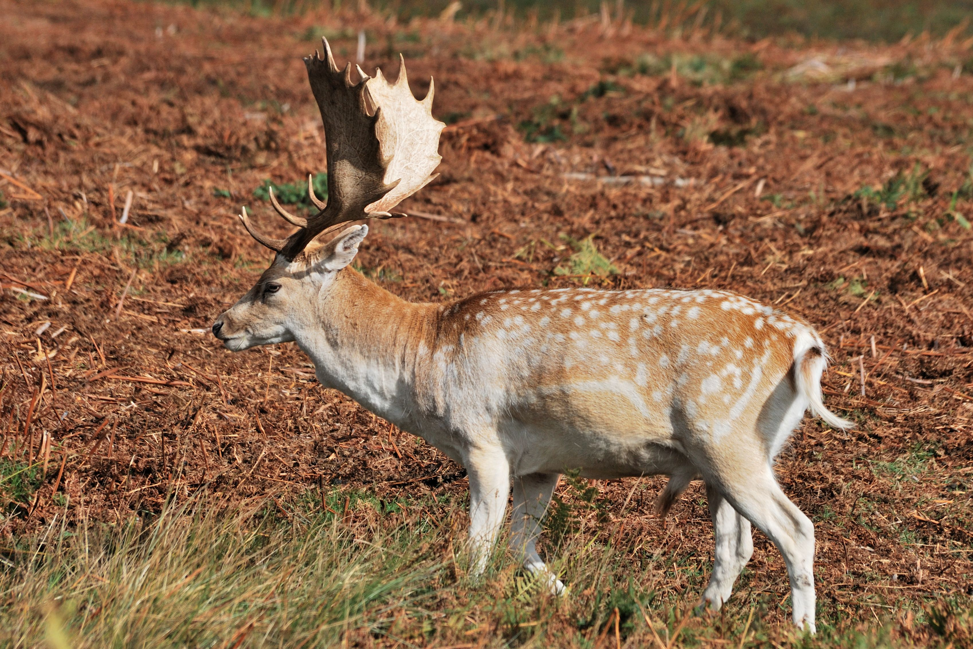 An example of a fallow deer buck
