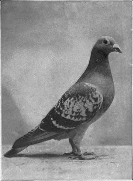 1911 Encyclopædia Britannica/Dove (bird) - Wikisource, the