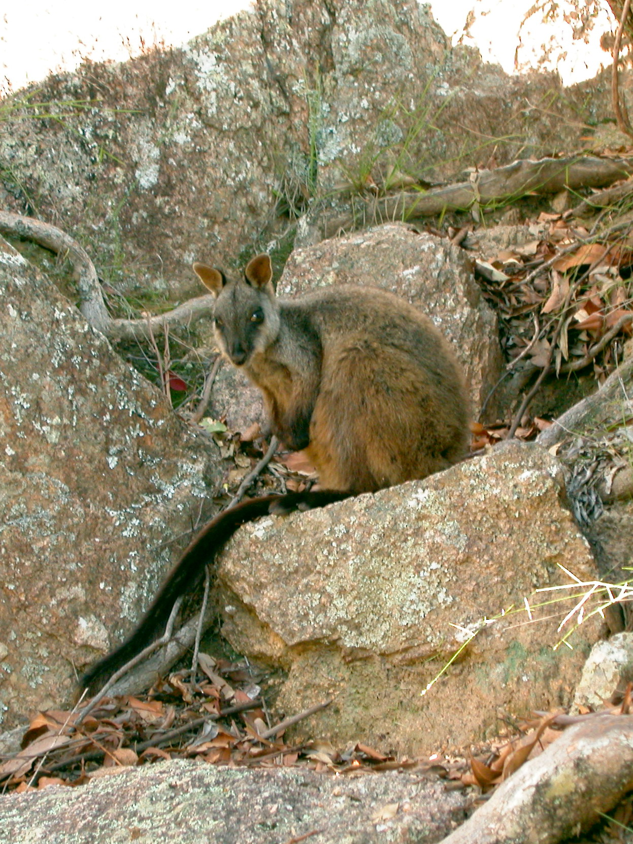 Brush Tailed Rock Wallaby Simple English Wikipedia The Free Encyclopedia