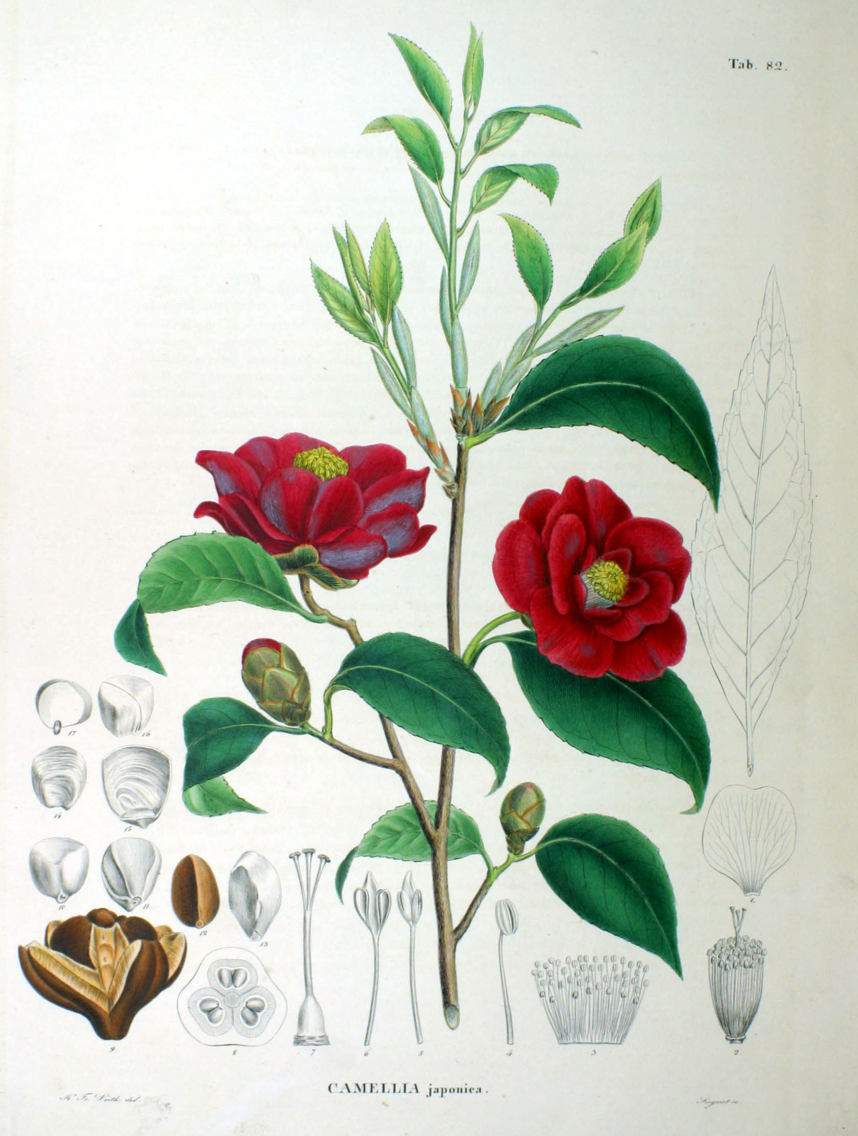 Camellia japonica SZ82.jpg