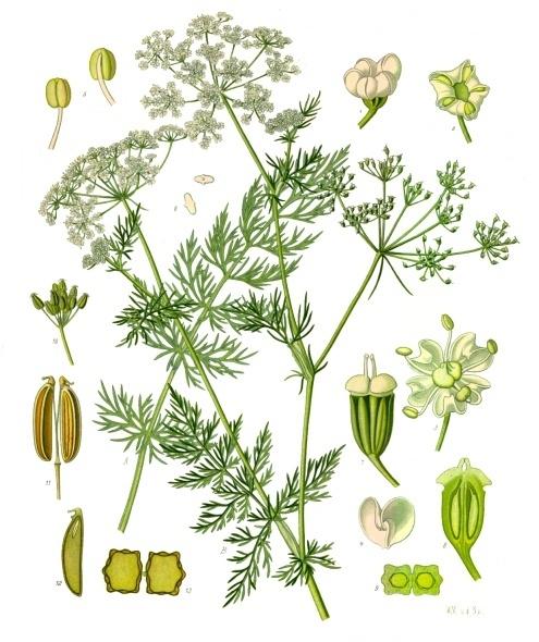 Carum carvi - Köhler–s Medizinal-Pflanzen-172