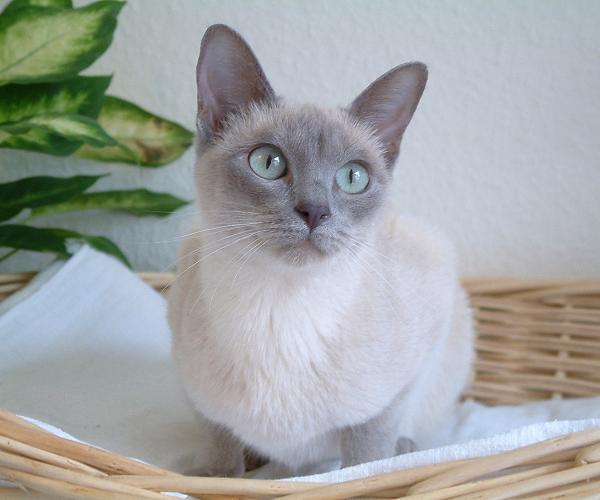 File:Chat tonkinois lilac mink (chatterie de l'Esprit d'Edenvane)..jpg
