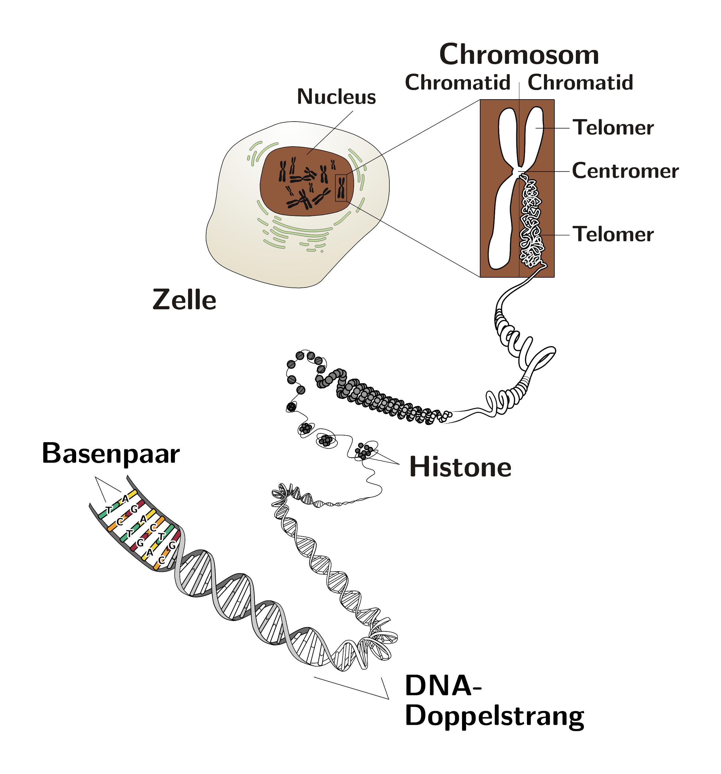 Dna Chromosomen