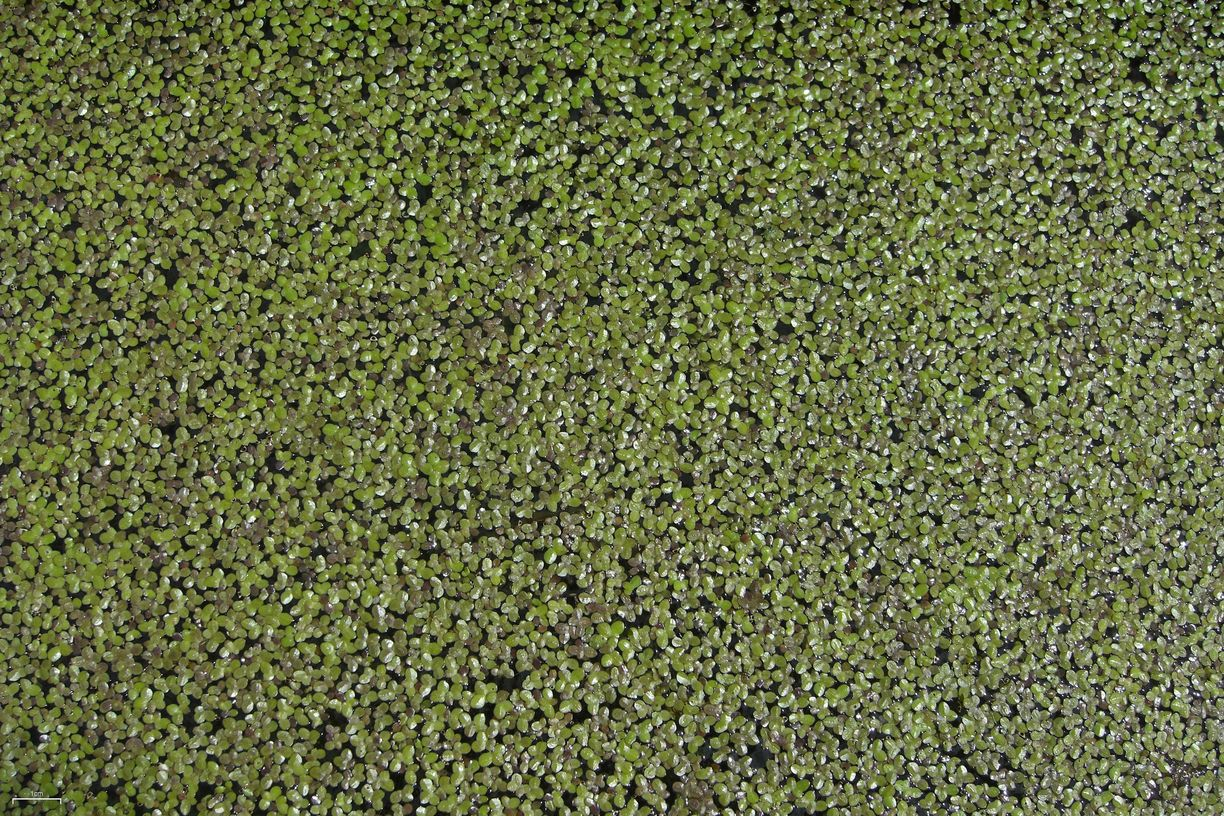 duck weed Learn more about duckweed uses, effectiveness, possible side effects,  interactions, dosage, user ratings and products that contain duckweed.
