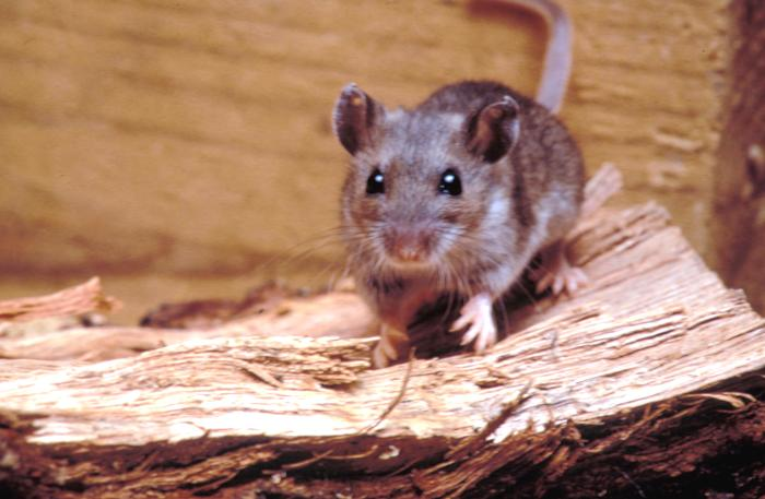 Fichier:Deer mouse, Peromyscus maniculatus 8360 lores.jpg