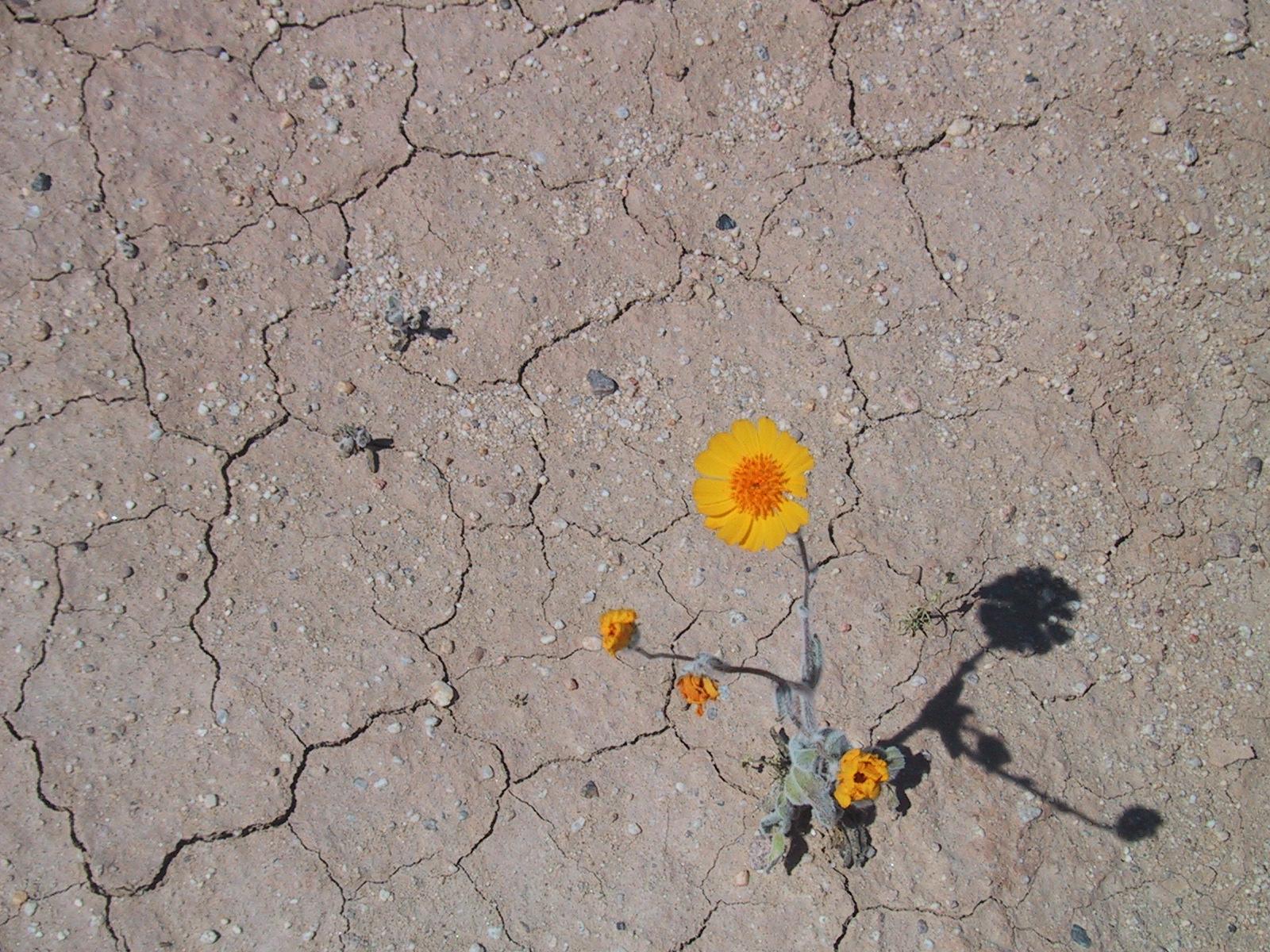 Description Desertflower.JPG