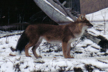 The most endangered Asia top predator of 2010, the dhole is on the edge of extinction. Fewer than 2500 members of the species remain in the world.