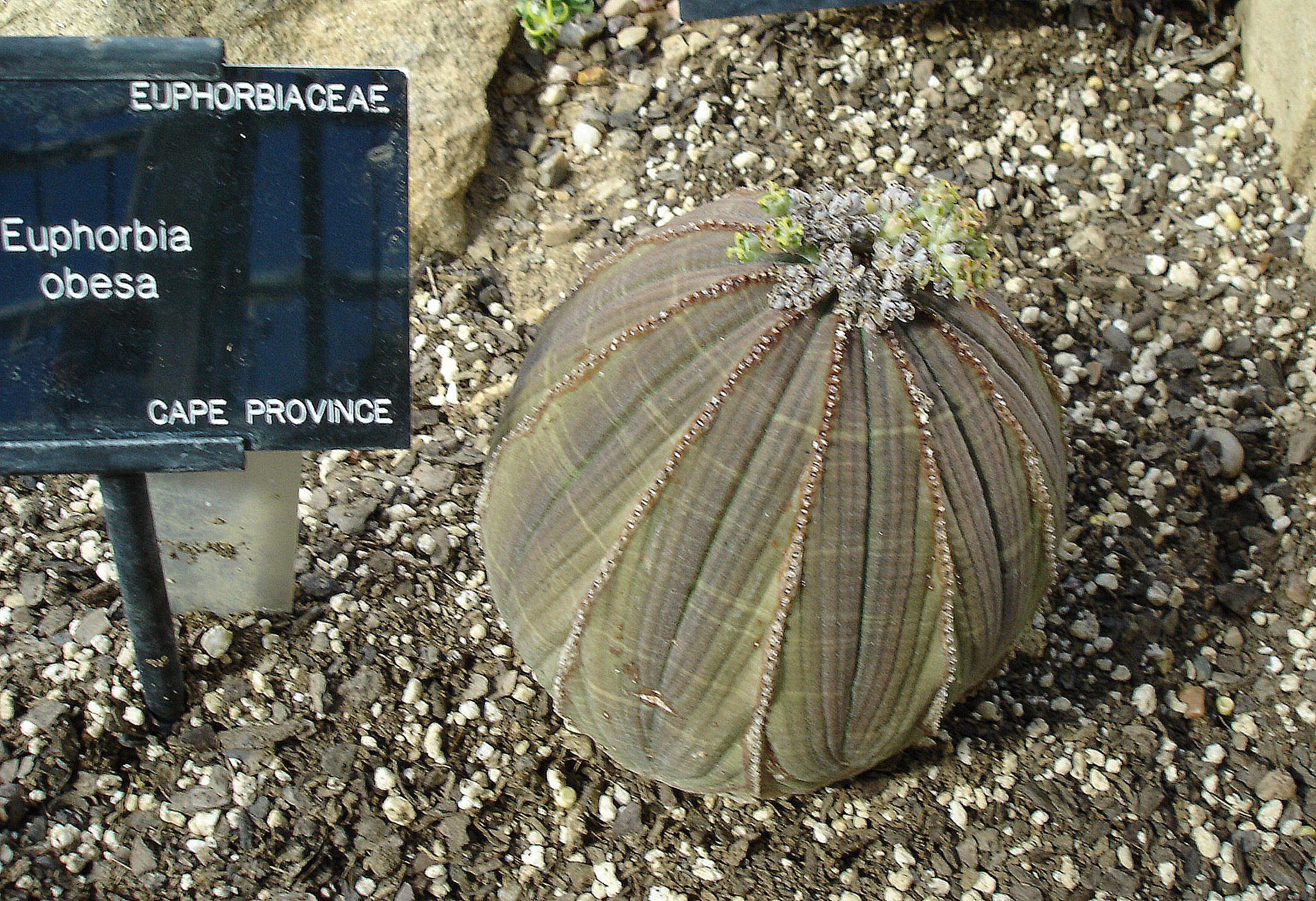 http://upload.wikimedia.org/wikipedia/commons/4/42/Euphorbia_obesa.jpg