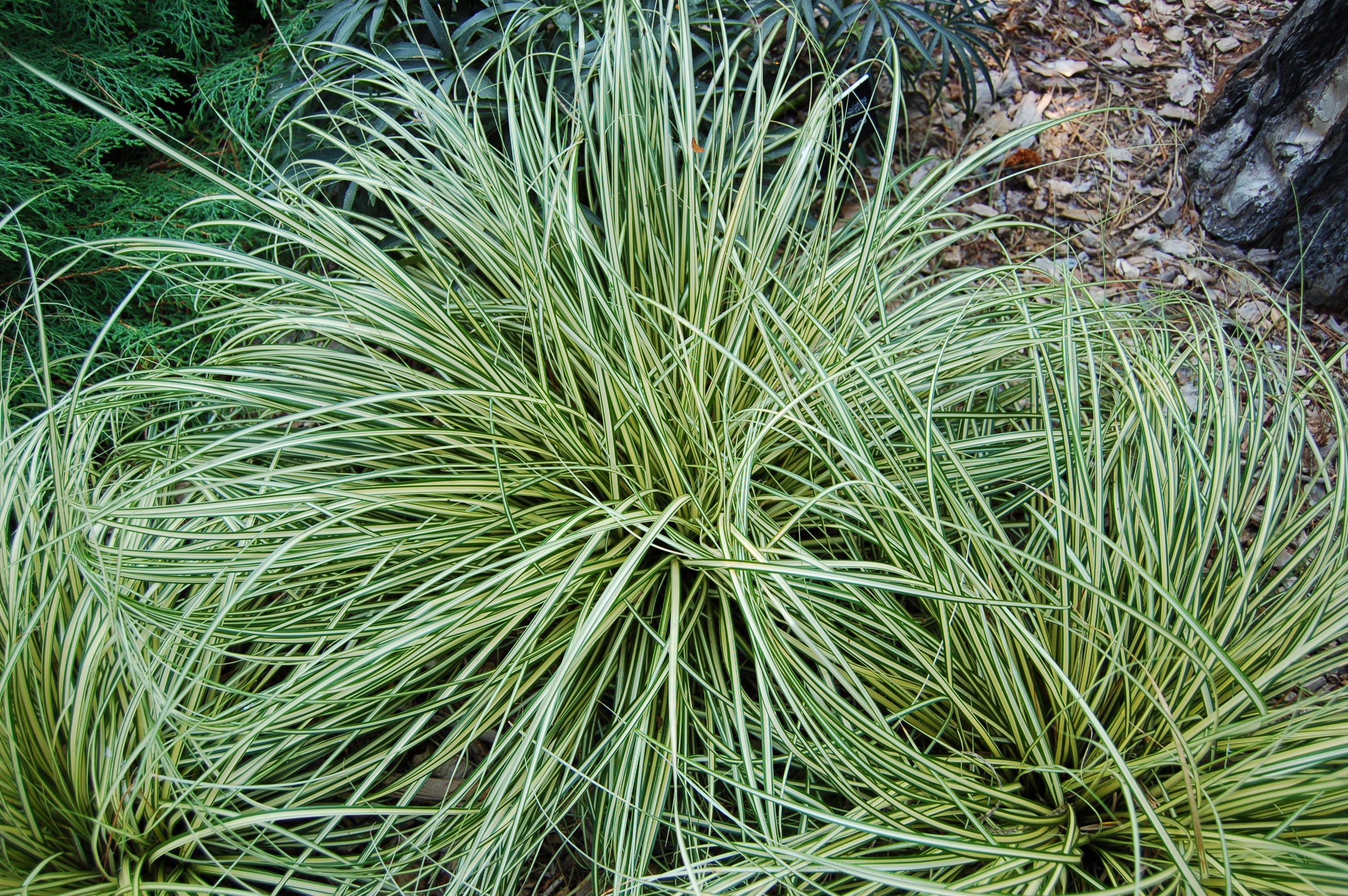 Carex plant - Cadre x ...