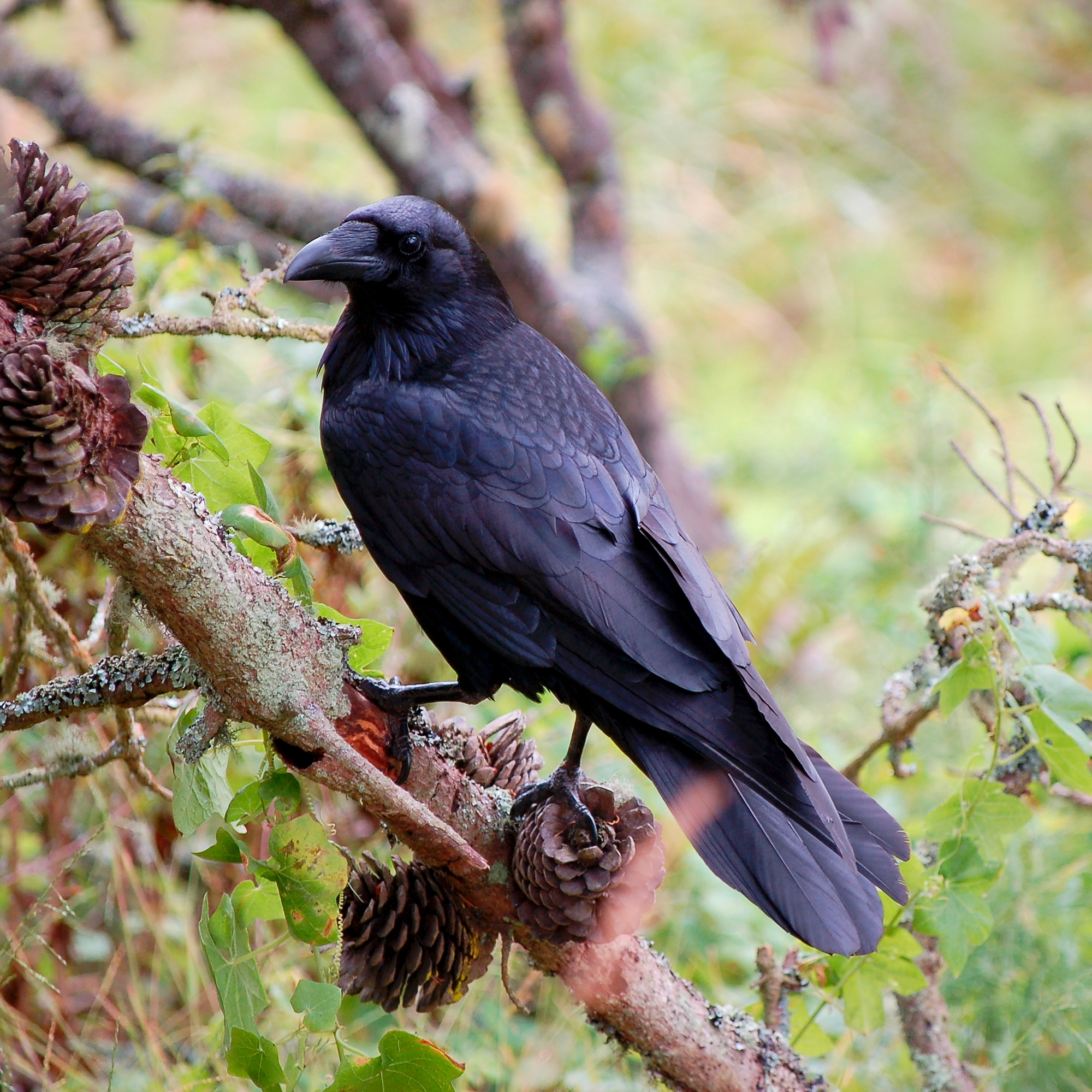 http://upload.wikimedia.org/wikipedia/commons/4/42/Female_adult_raven.jpg