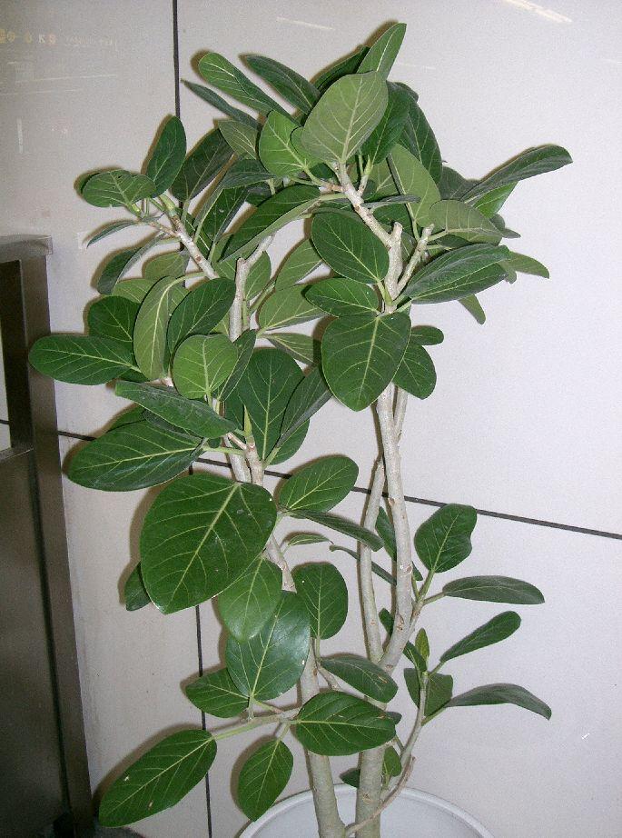 verschiedene ficus benghalensis pflanzenbestimmung pflanzensuche green24 hilfe pflege bilder. Black Bedroom Furniture Sets. Home Design Ideas