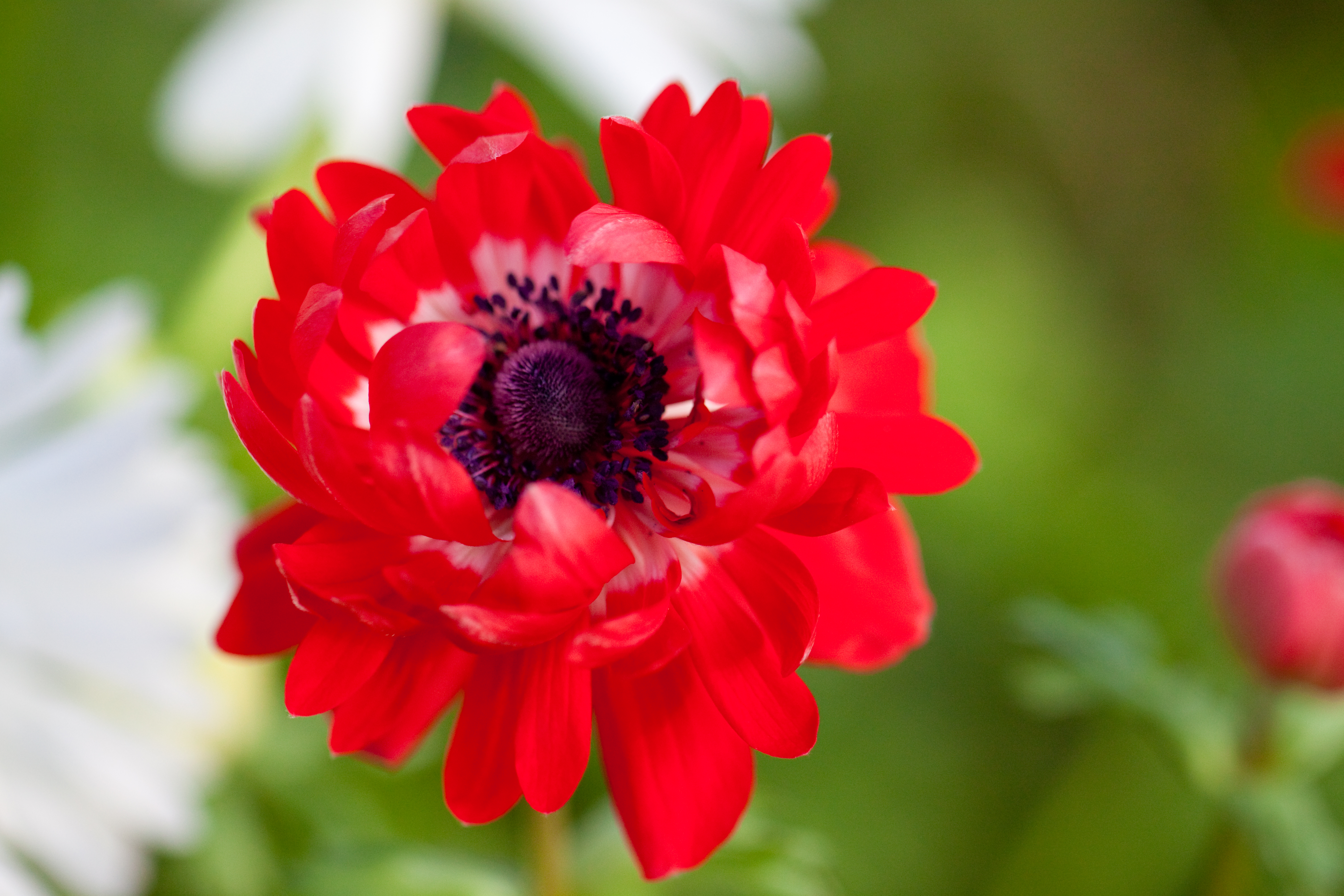 "File Flower Anemone ""De Caen Double"" Flickr nekonomania 1"