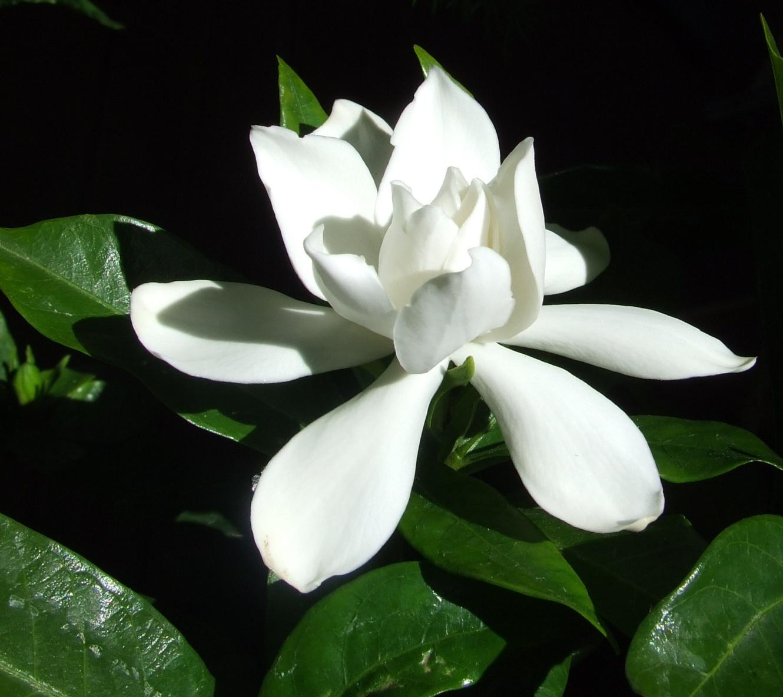 Filegardenia flowerg wikimedia commons filegardenia flowerg mightylinksfo