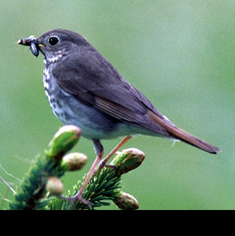 The Hermit Thrush, Vermont's State Bird