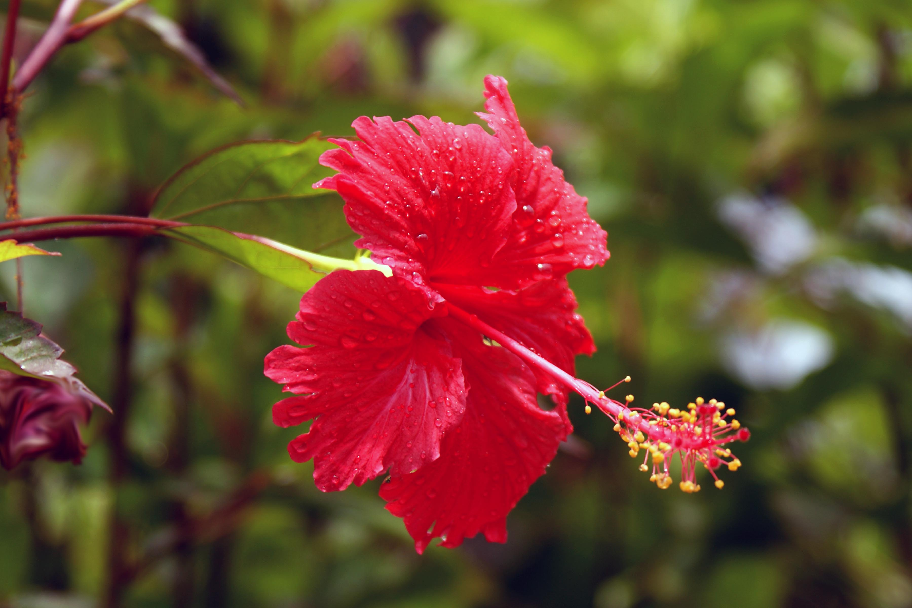 Image result for hibiscus