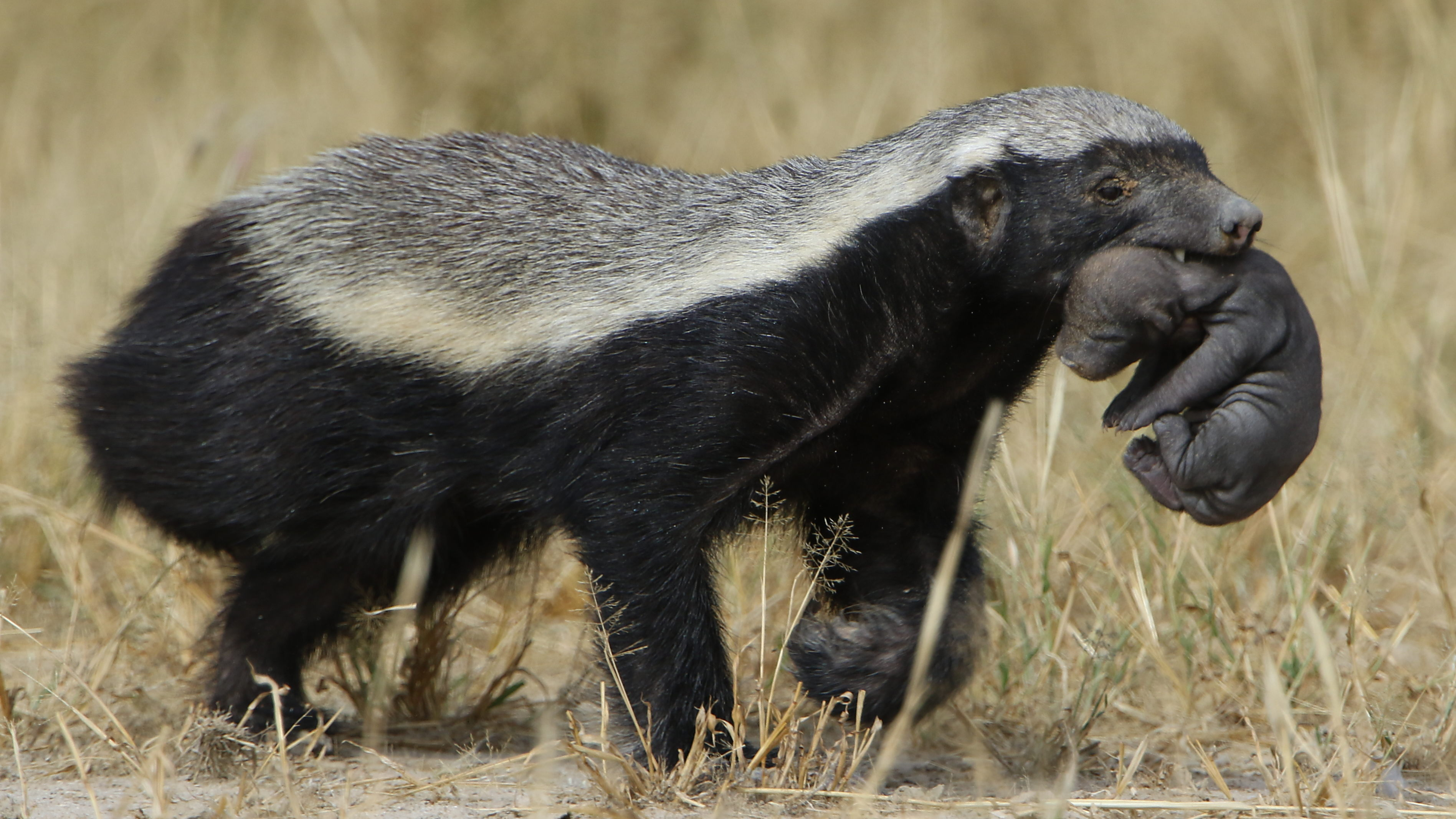 File:Honey badger, Mellivora capensis, carrying young pup ...