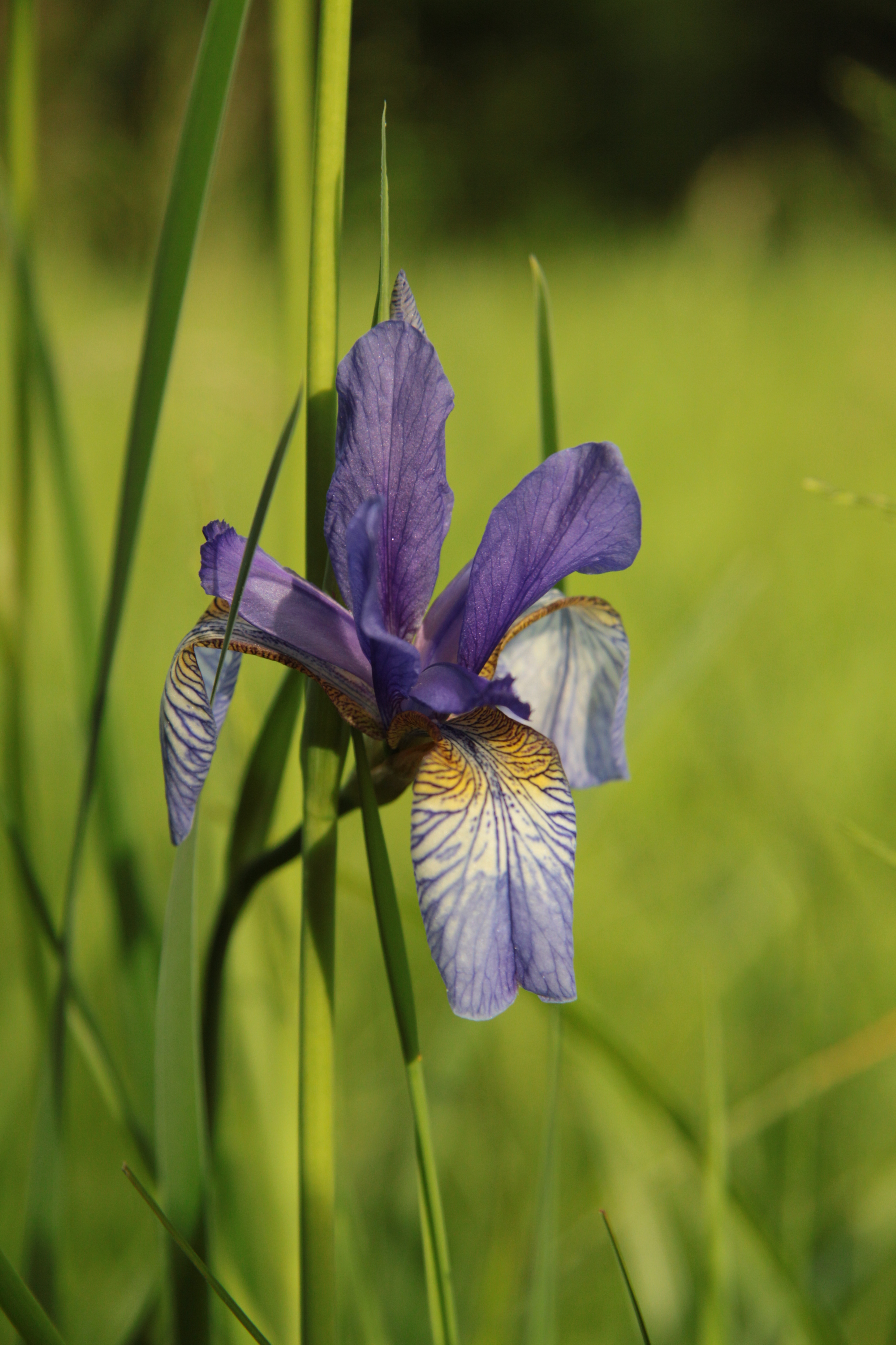 Iris sibirica in natural monument Mastnice in 2011 (10).JPG