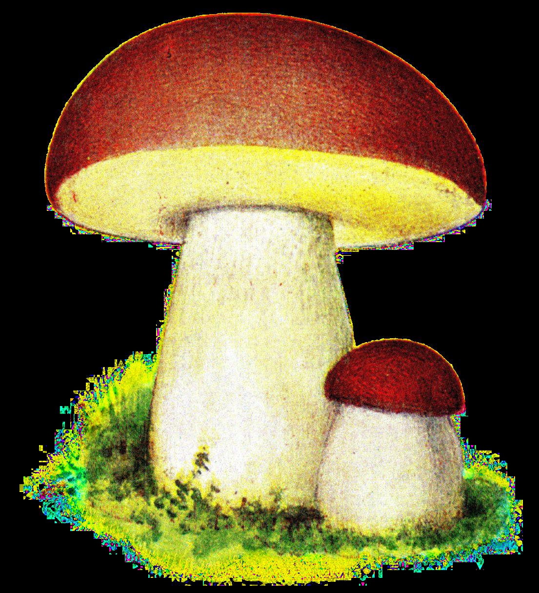File:Karl Johanssvamp, Iduns kokbok.png - Wikimedia Commons