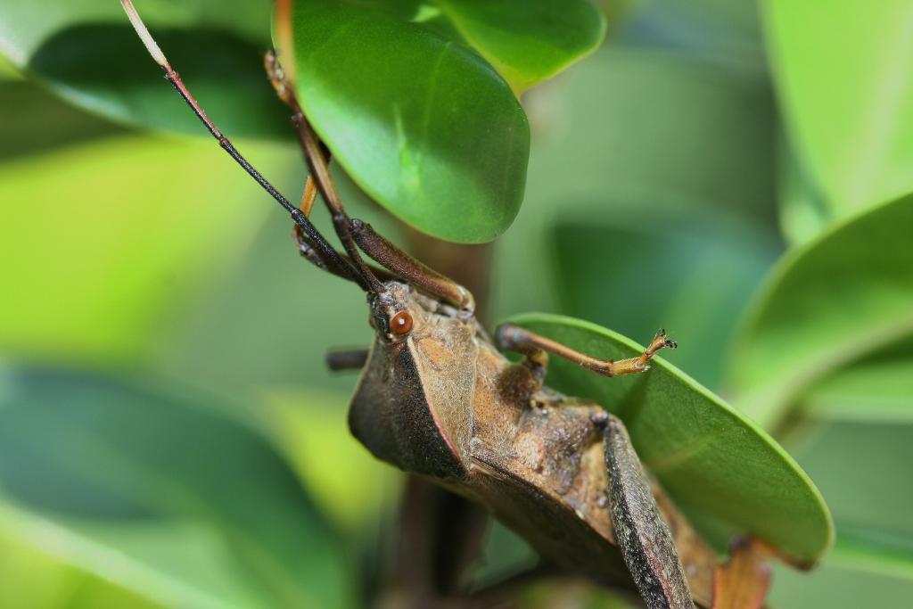 File:Large Leaf Bug of Some Kind (6164949725).jpg ...