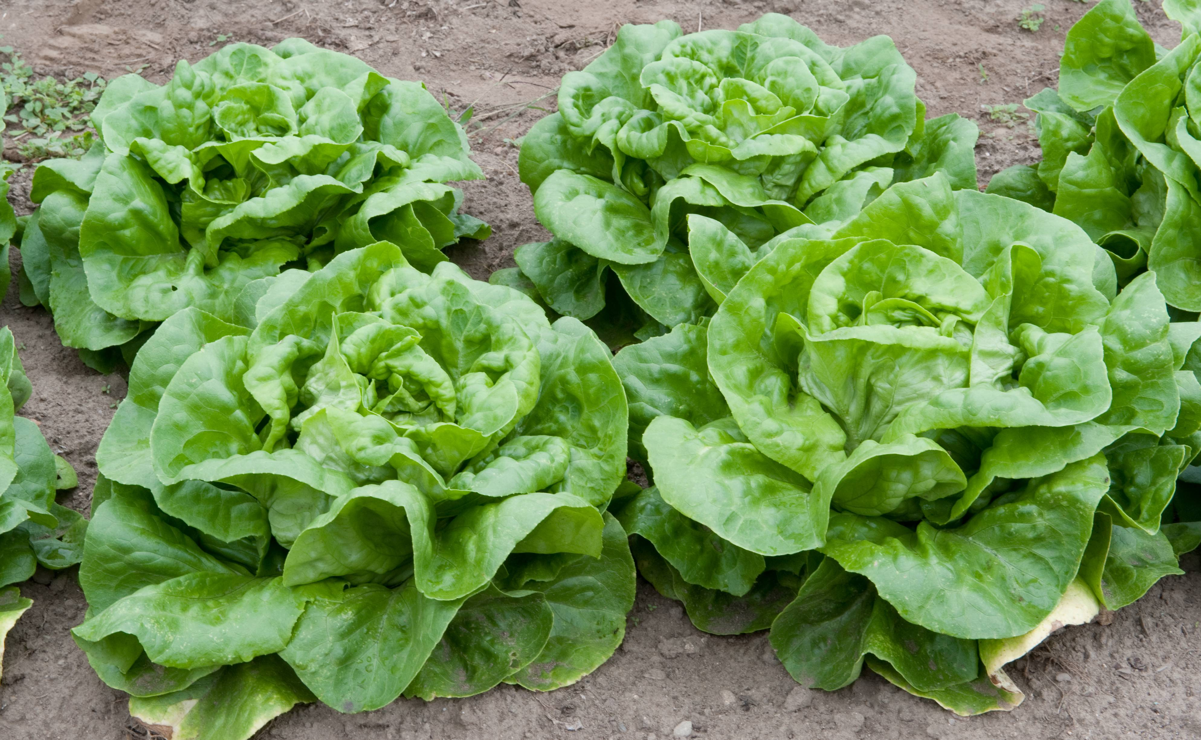 Growing Salad Greens In Raised Beds