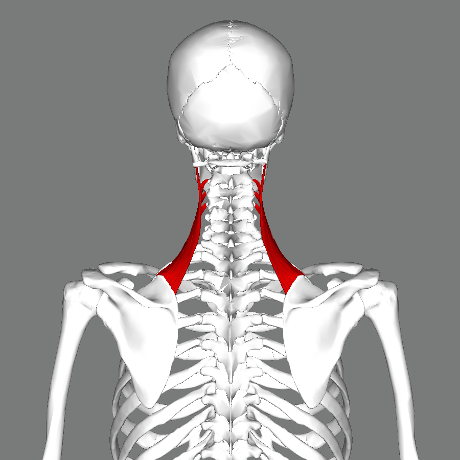 Image result for trapezius and levator scapulae