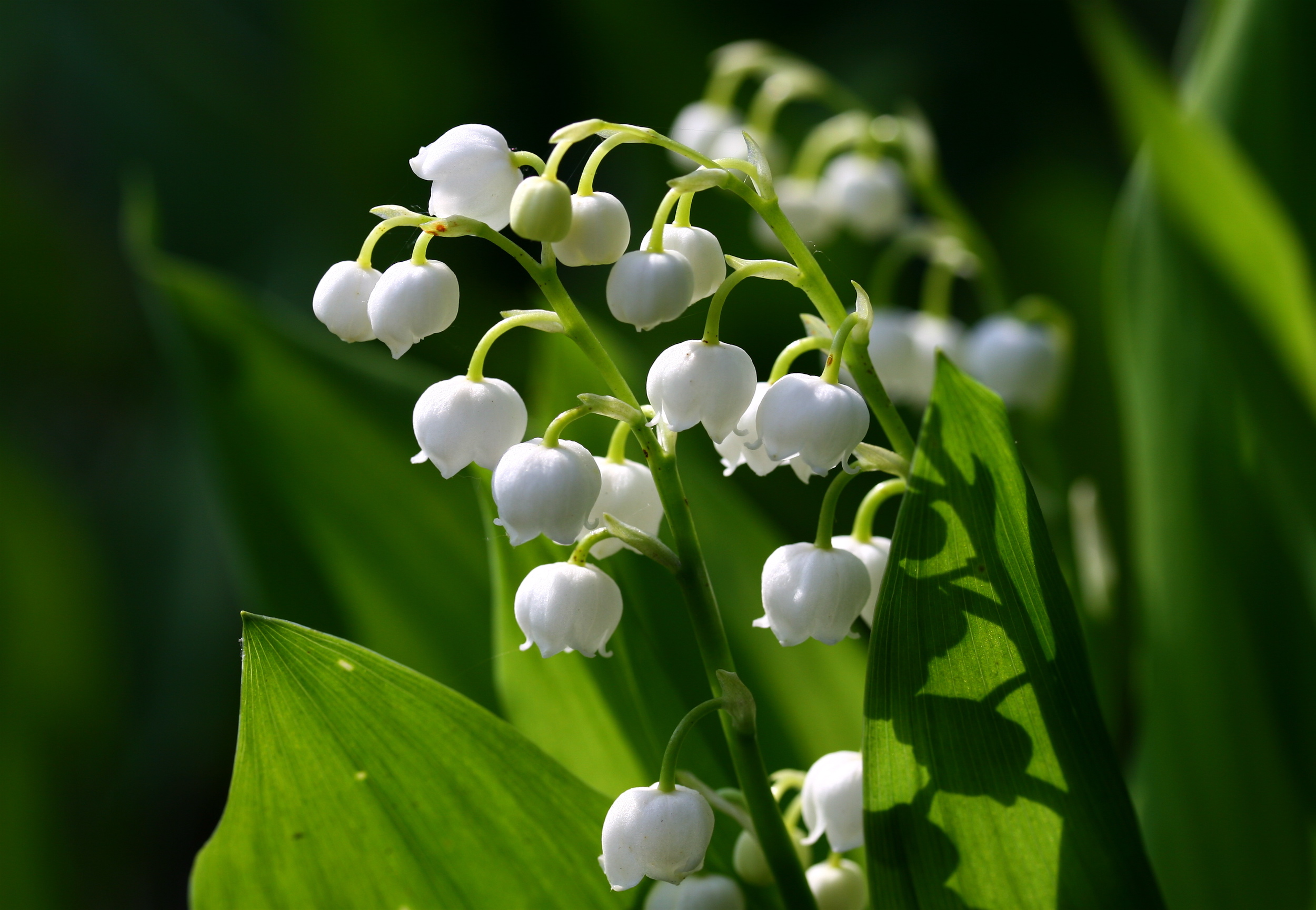 Filelily of the valley 777g wikimedia commons filelily of the valley 777g izmirmasajfo