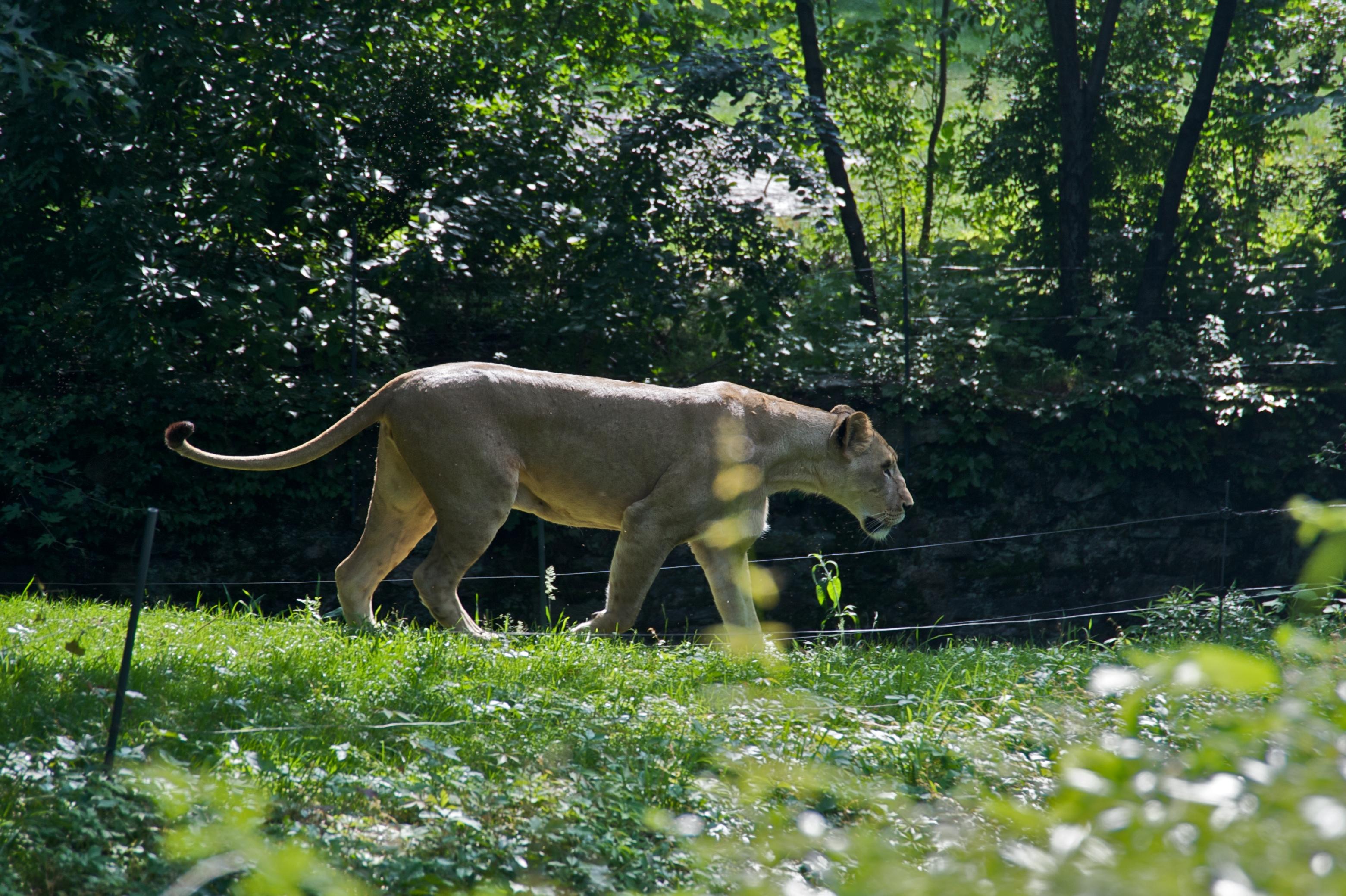 File:Lioness Panthera ...