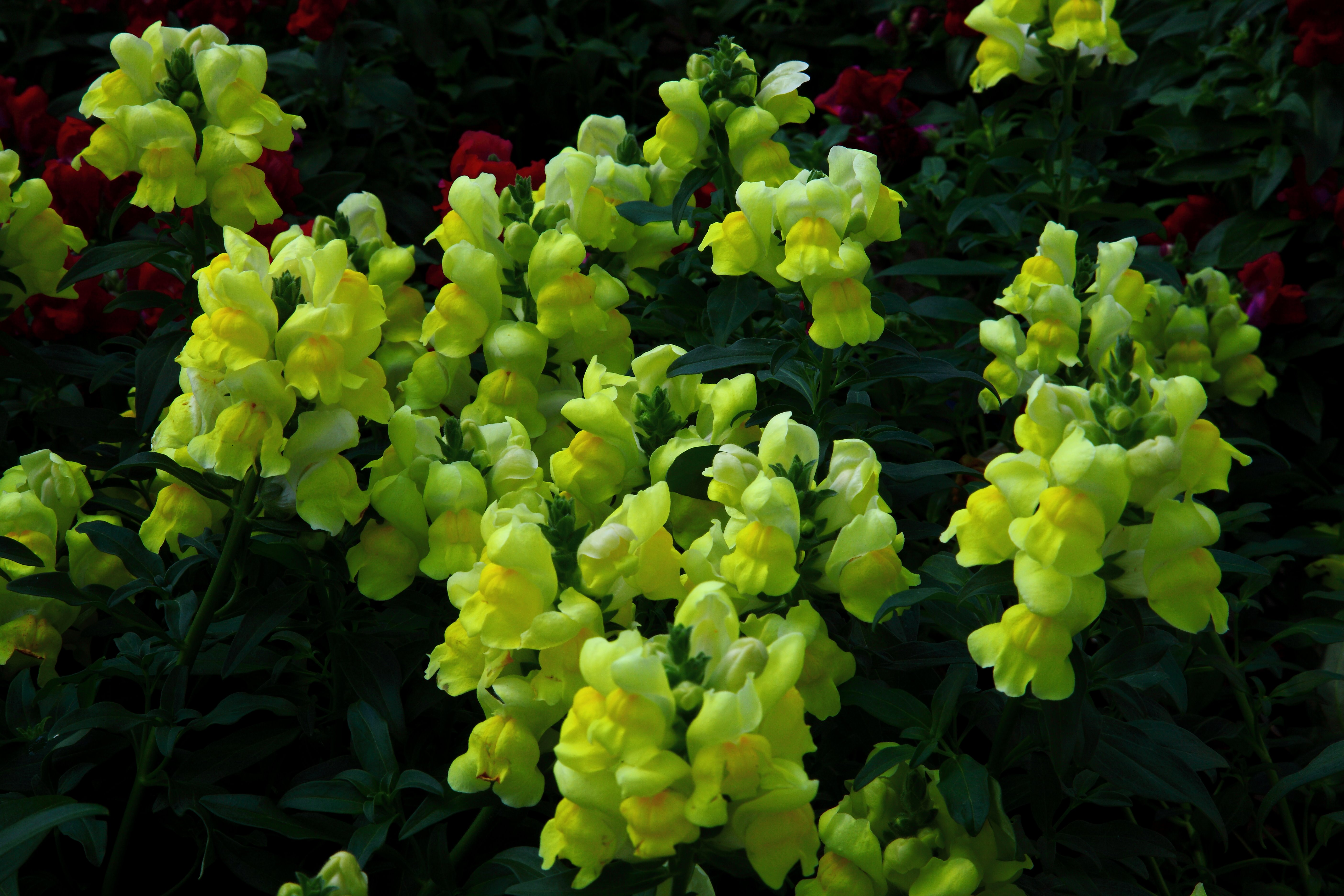 Filelittle yellow flower bells virginia forestwanderg filelittle yellow flower bells virginia forestwanderg mightylinksfo