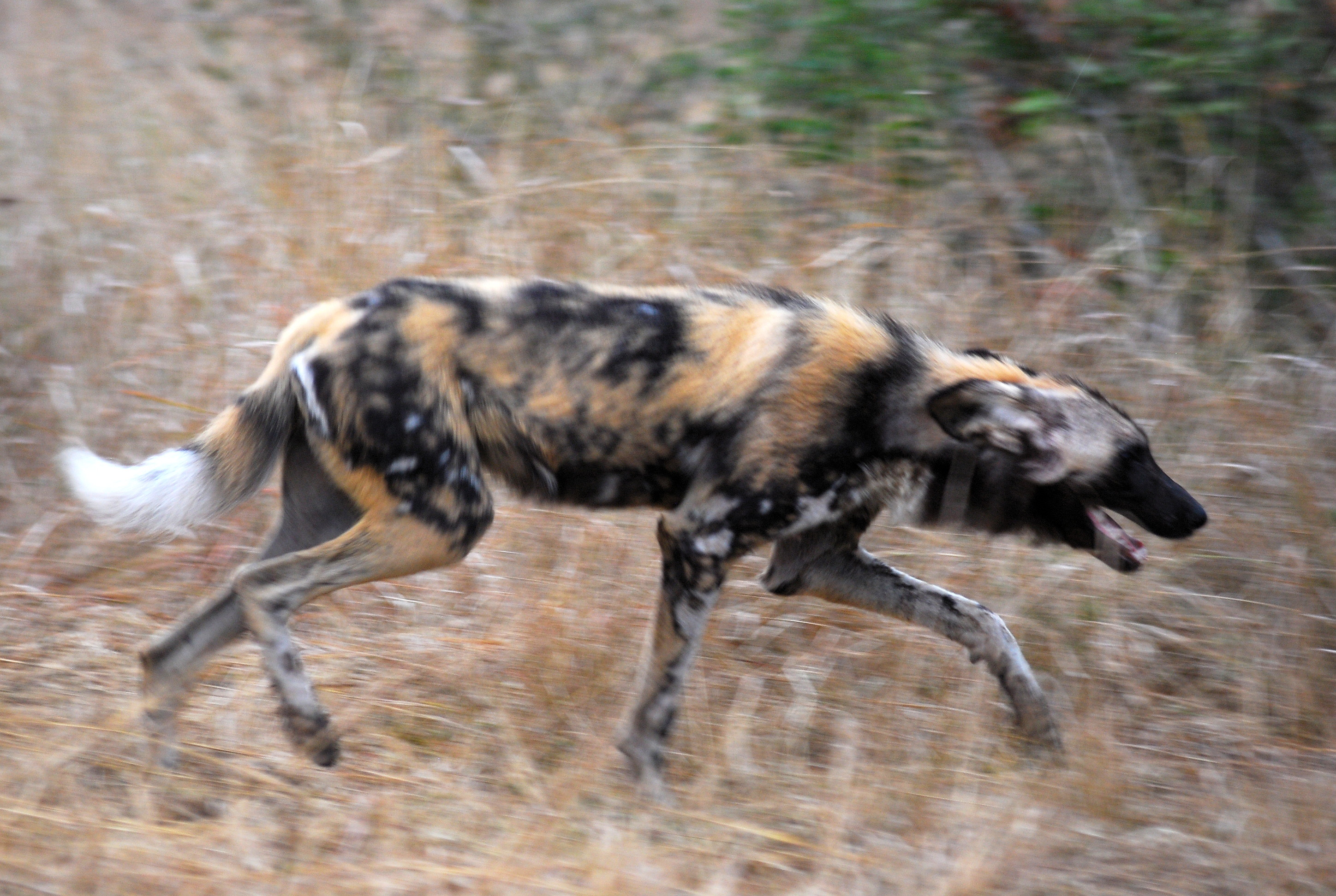 African Wild Dog Hunting Videos