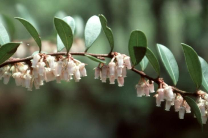 Lyonia lucida - Wikipe...