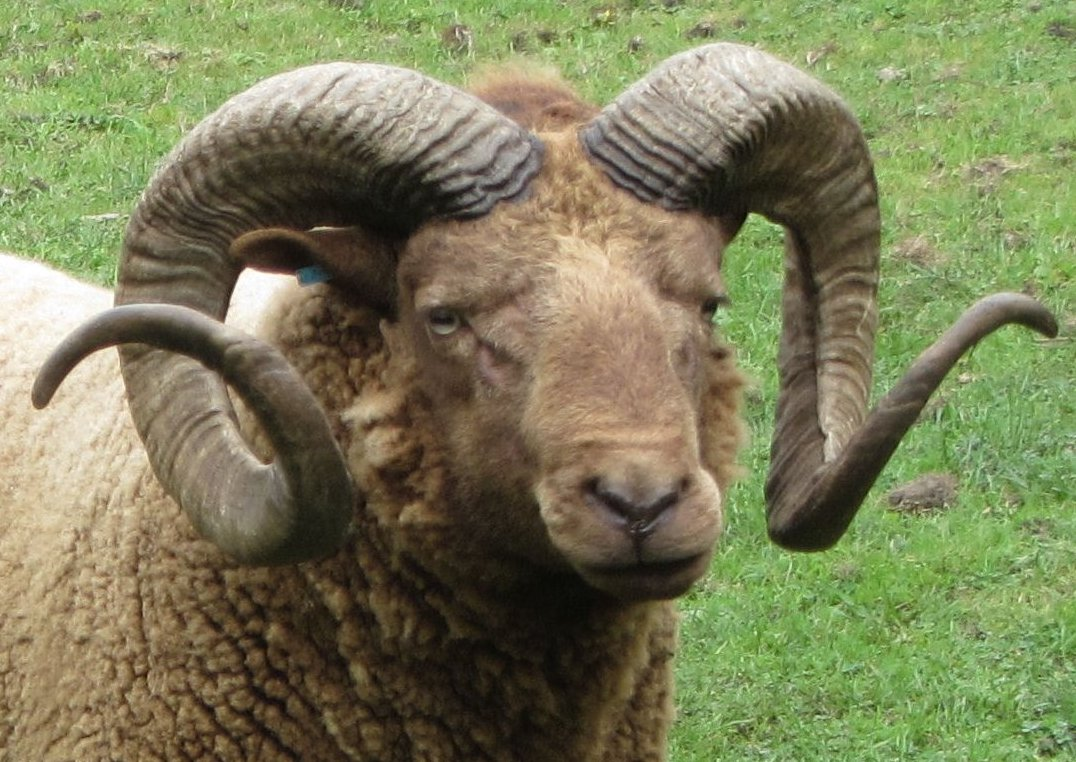 Big horns arent always best for sheep | Earth | EarthSky