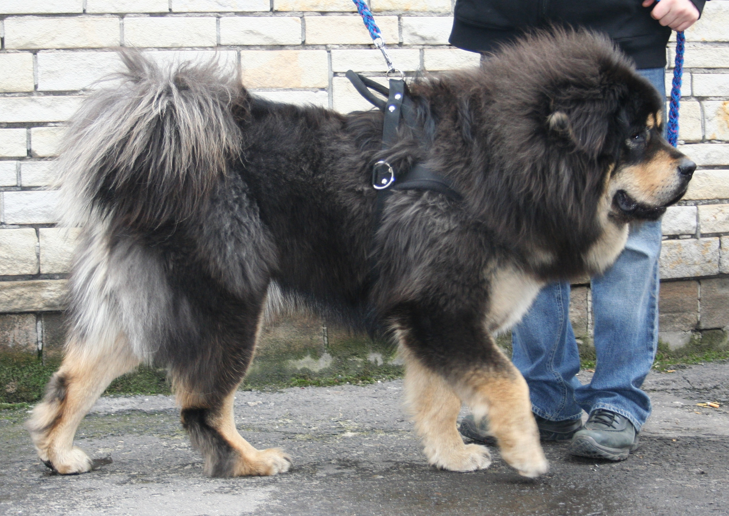 Datei:Mastif tybetański 2009 pl3.jpg – Wikipedia