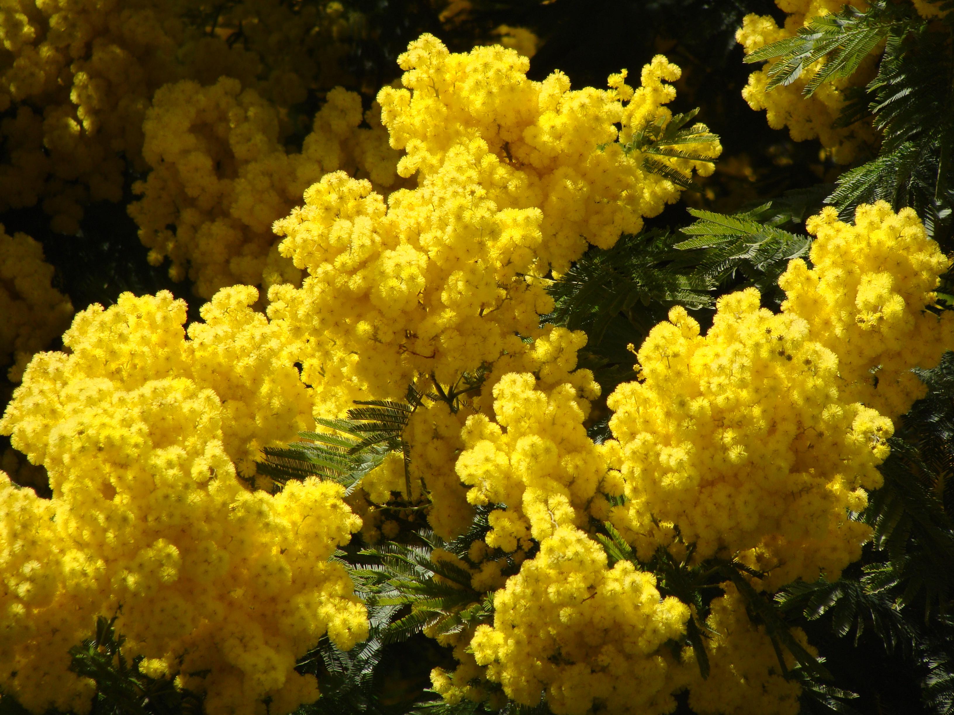Фото цветов мимоза