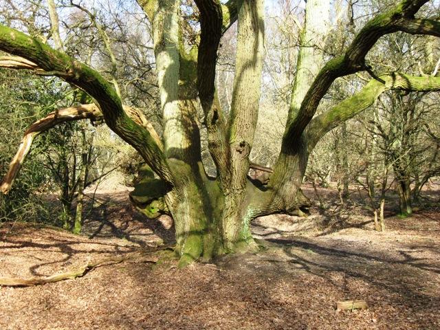 "Old ""Hedgerow"" Oak, Moneybury Hill - geograph.org.uk - 1185031"