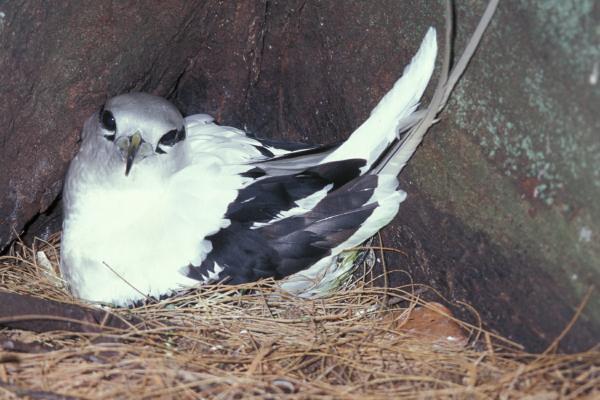 Phaethon lepturus, White-tailed tropicbird, nesting