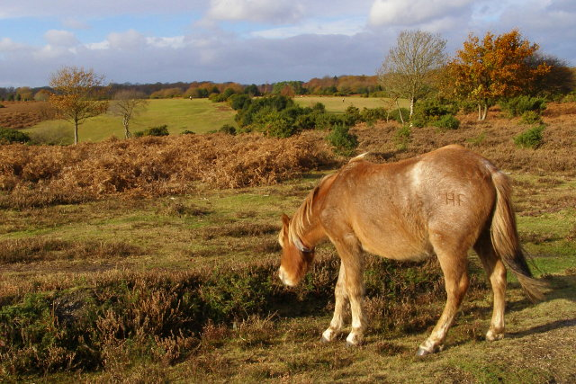 Pony grazing alongside the road to Holmsley Passage, New Forest - geograph.org.uk - 624623