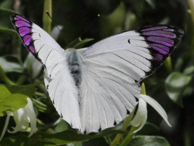 Sưu tập Bộ cánh vảy 3 - Page 8 Queen_purple_tip_%28Colotis_regina%29