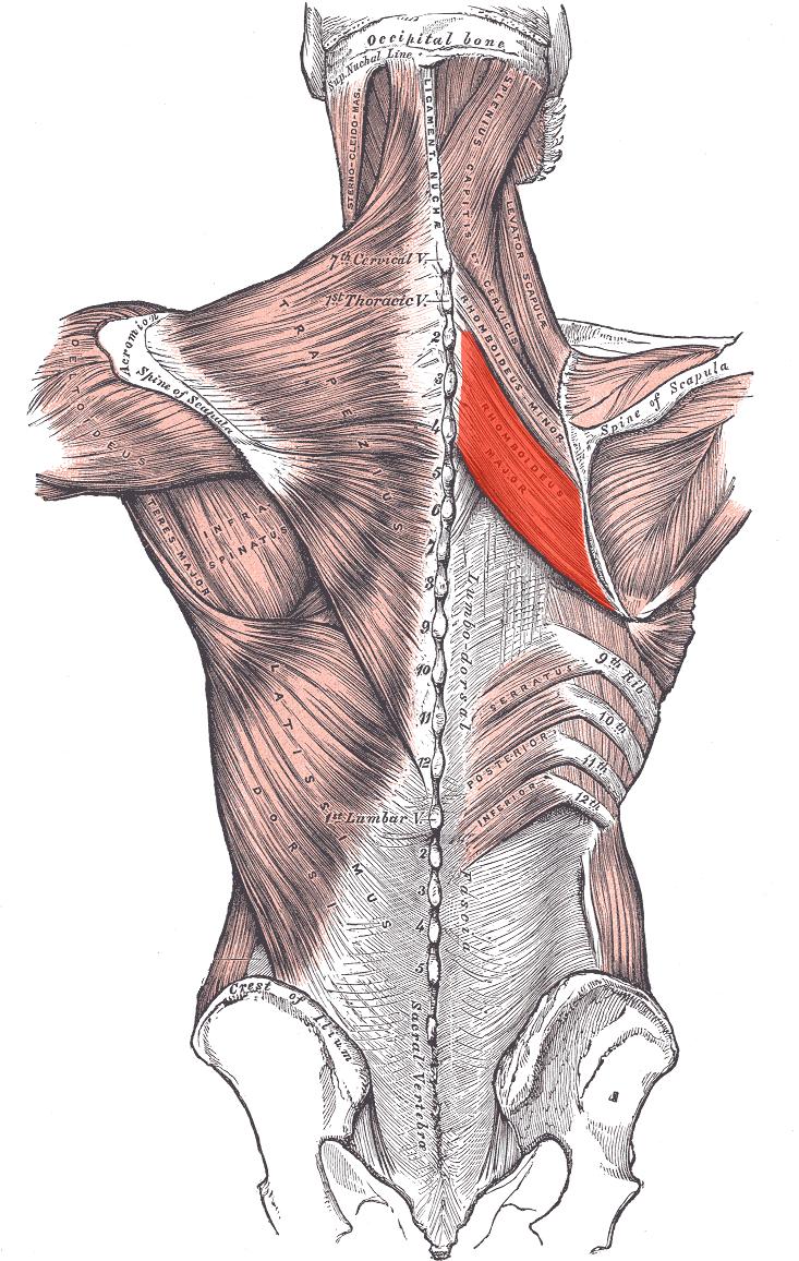 Músculo romboides mayor - Wikiwand