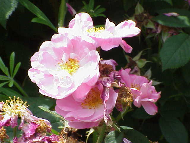 File:Rosa damascena6.jpg