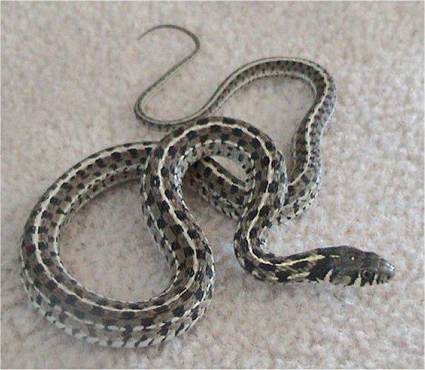 Checkered garter snake - Wikipedia