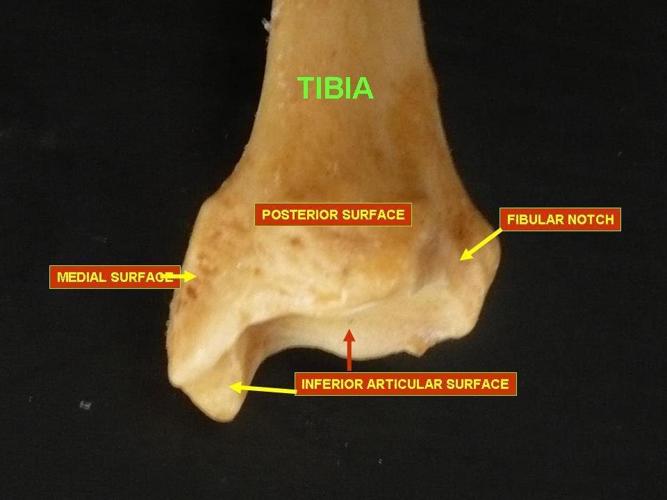 Inferior Articular Surface Tibia Tibia - inferior epiphysis