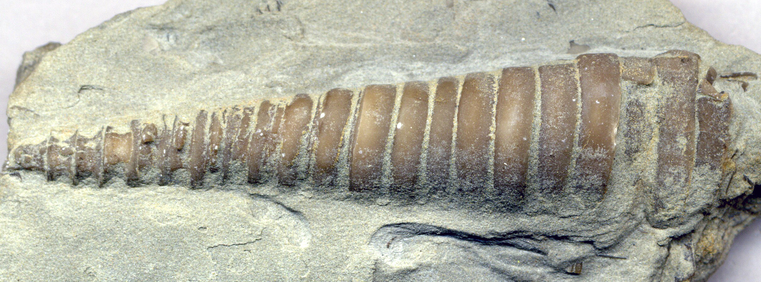 fossil dating wiki Absolute dating is the process of determining an age on a specified chronology  in archaeology  amino acid racemization dating of fossil bones annual.