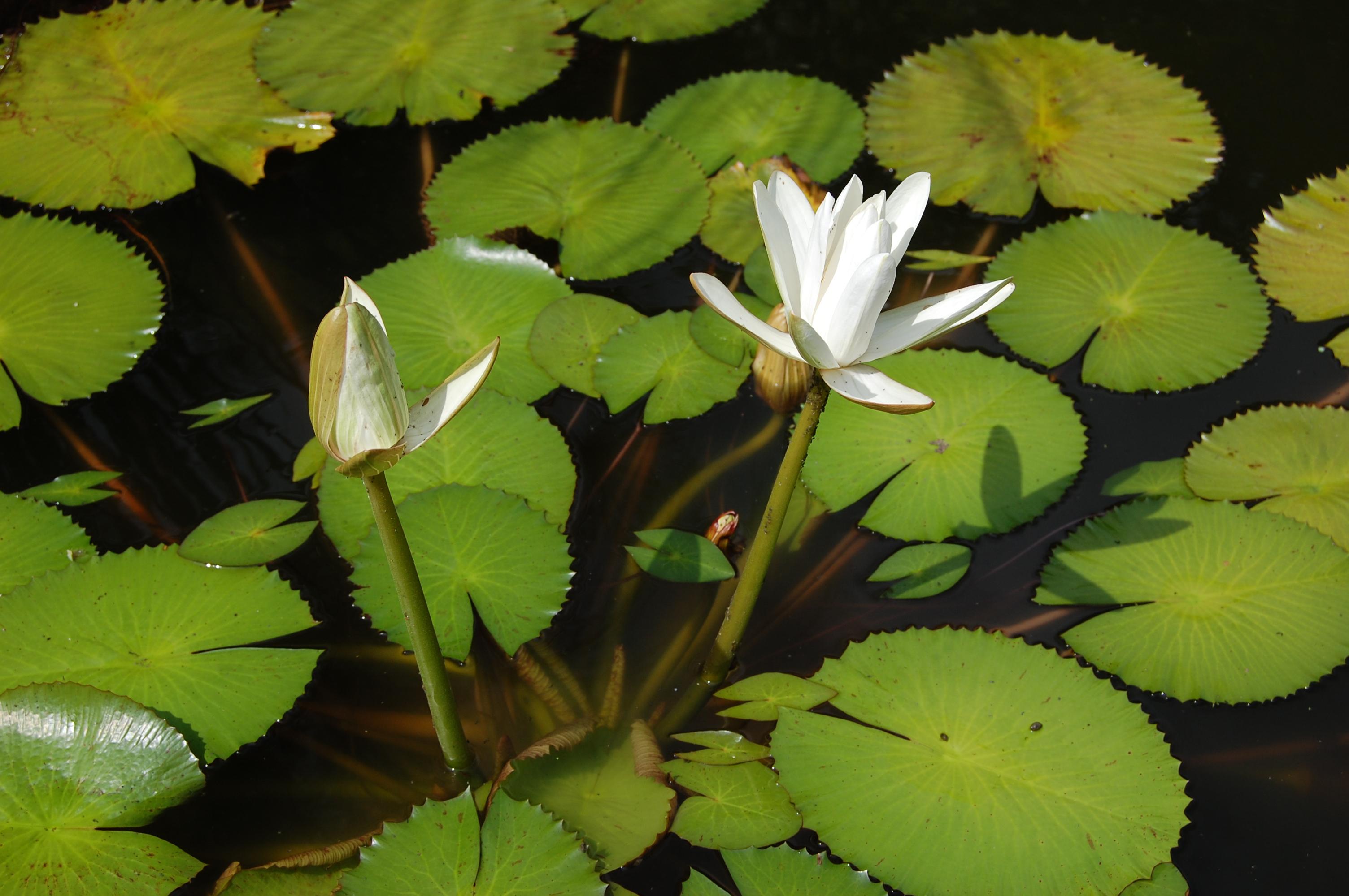 VƯỜN CÂY HOA ĐV I 2007_nymphaea_lotus