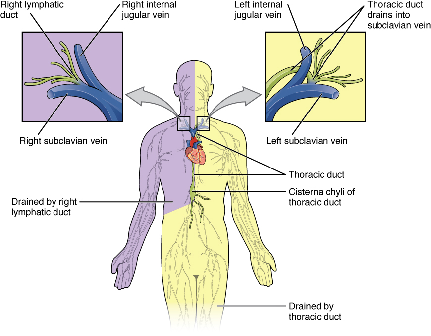 File2203 Lymphatic Trunks And Ducts Systemg Wikimedia Commons