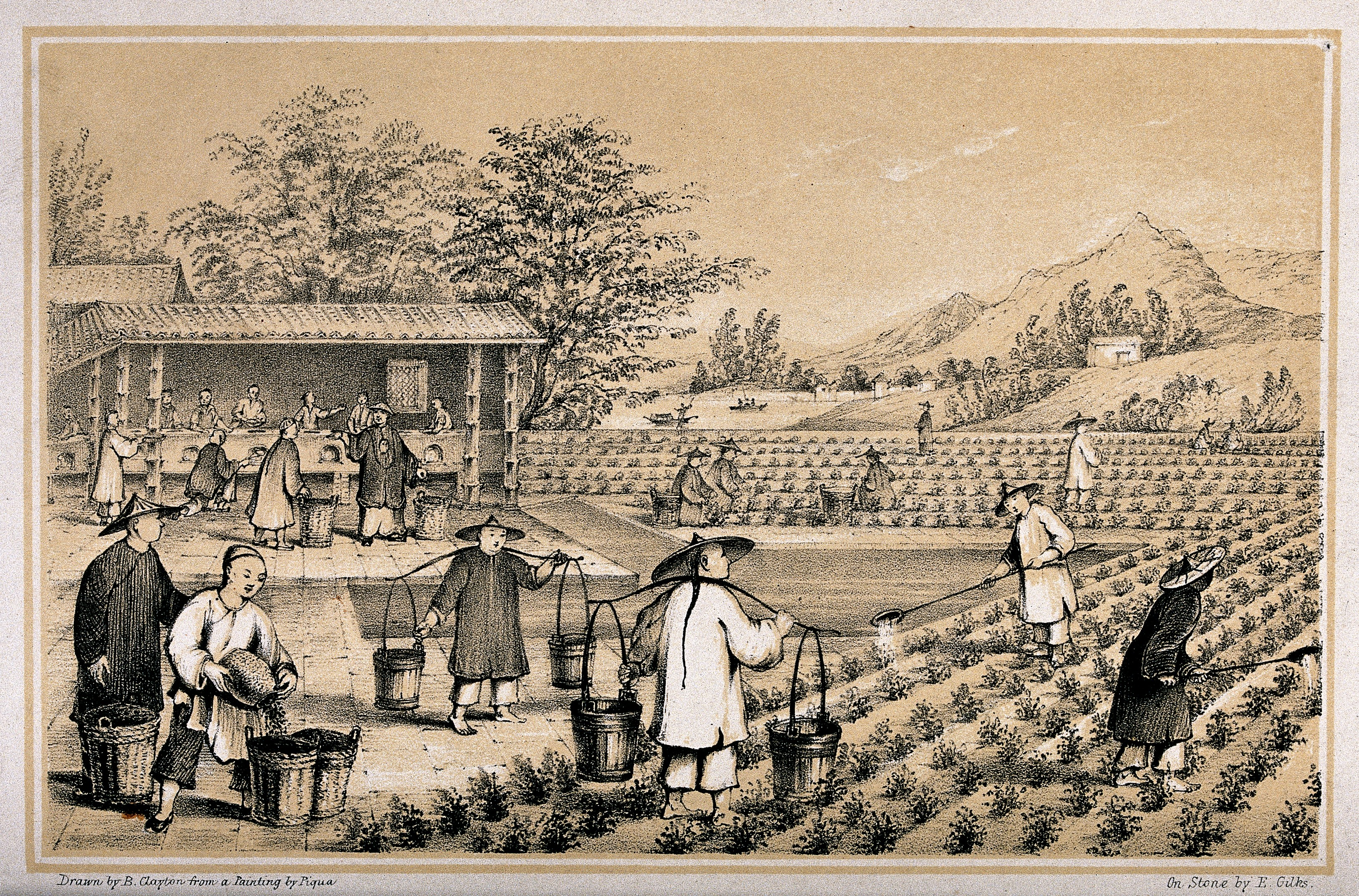 File:A Chinese tea plantation with workers watering ...