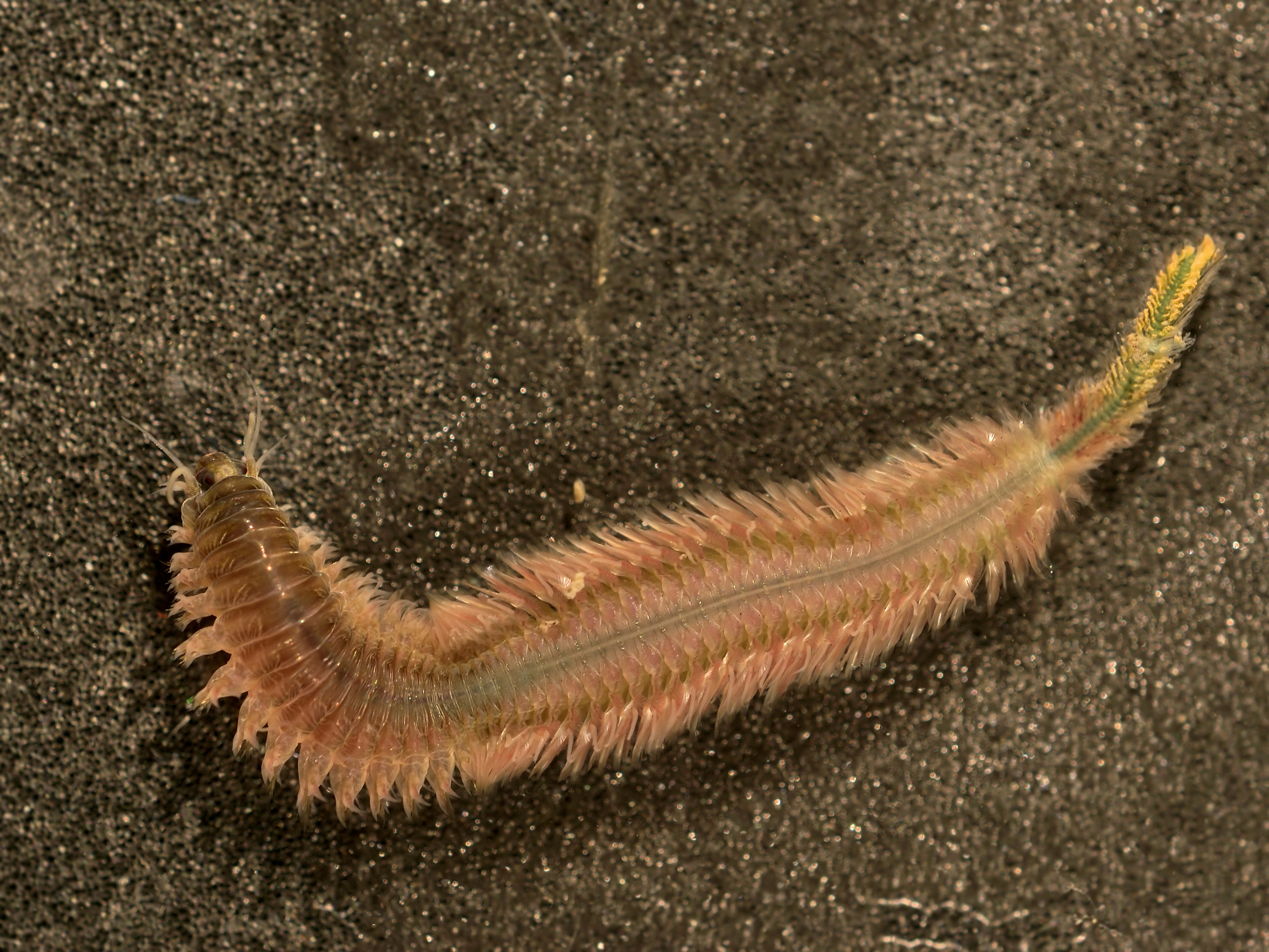 an experiment on the effects of salinity changes on the polychaete nereis succinea Joint toxicity of sediment-associated ddt and copper to a polychaete, nereis succinea fei wang • hong-xue qi • jing you accepted: 18.