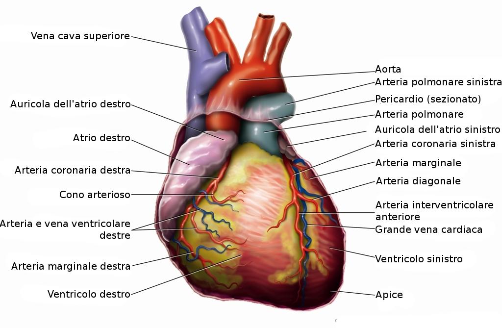 File:Anatomia del cuore.jpg - Wikipedia