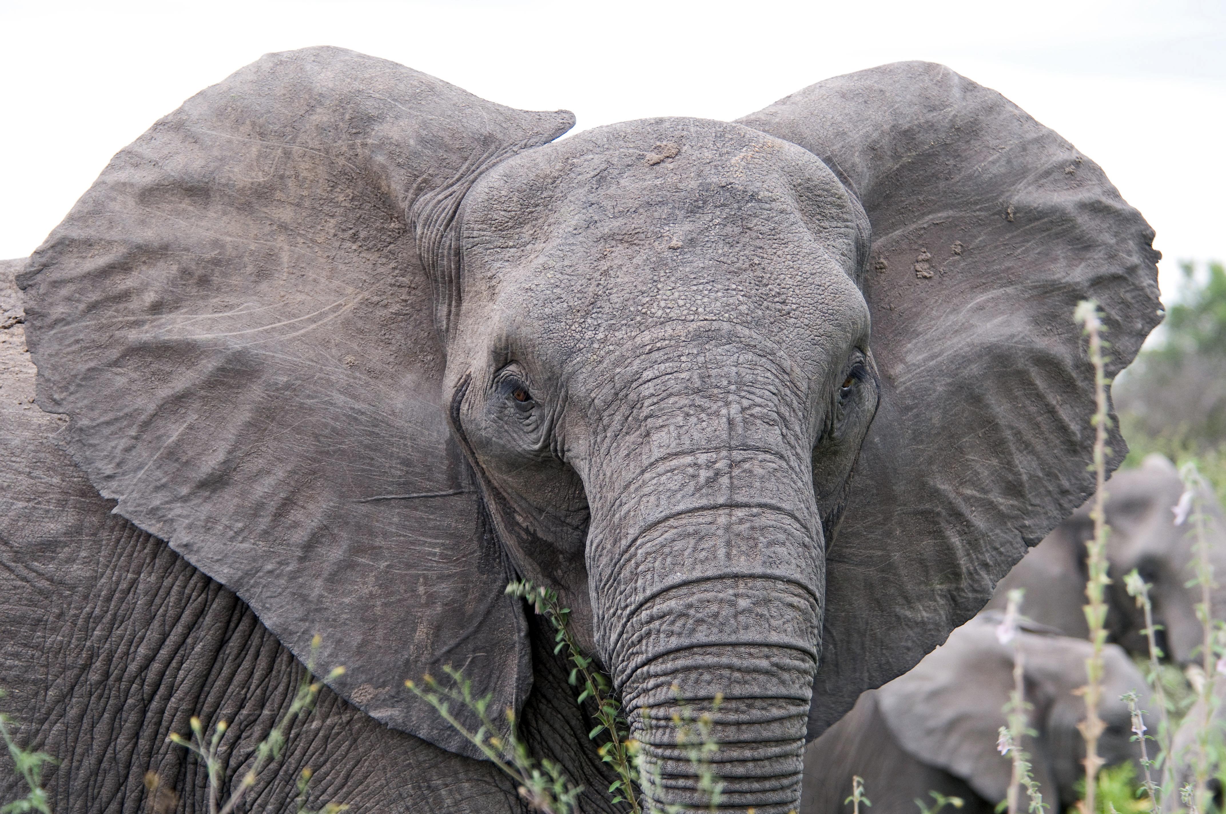 File Angry Elephant Ears Jpg Wikimedia Commons